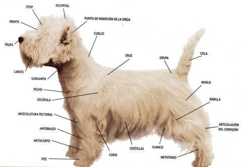 Terminología de las diferentes partes del cuerpo de un West Highland White Terrier (westie)