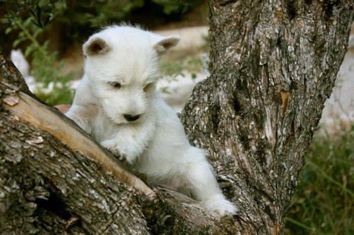 Cachorra de westie en el tronco de un olivo, del afijo deMerino, criador de West Higland White Terrier