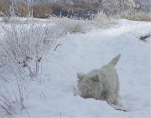 westie-nieve