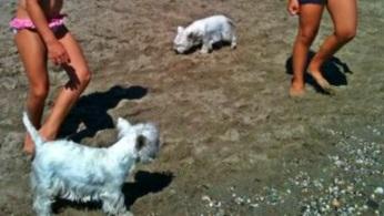 Dos westies en la playa de Fuengirola