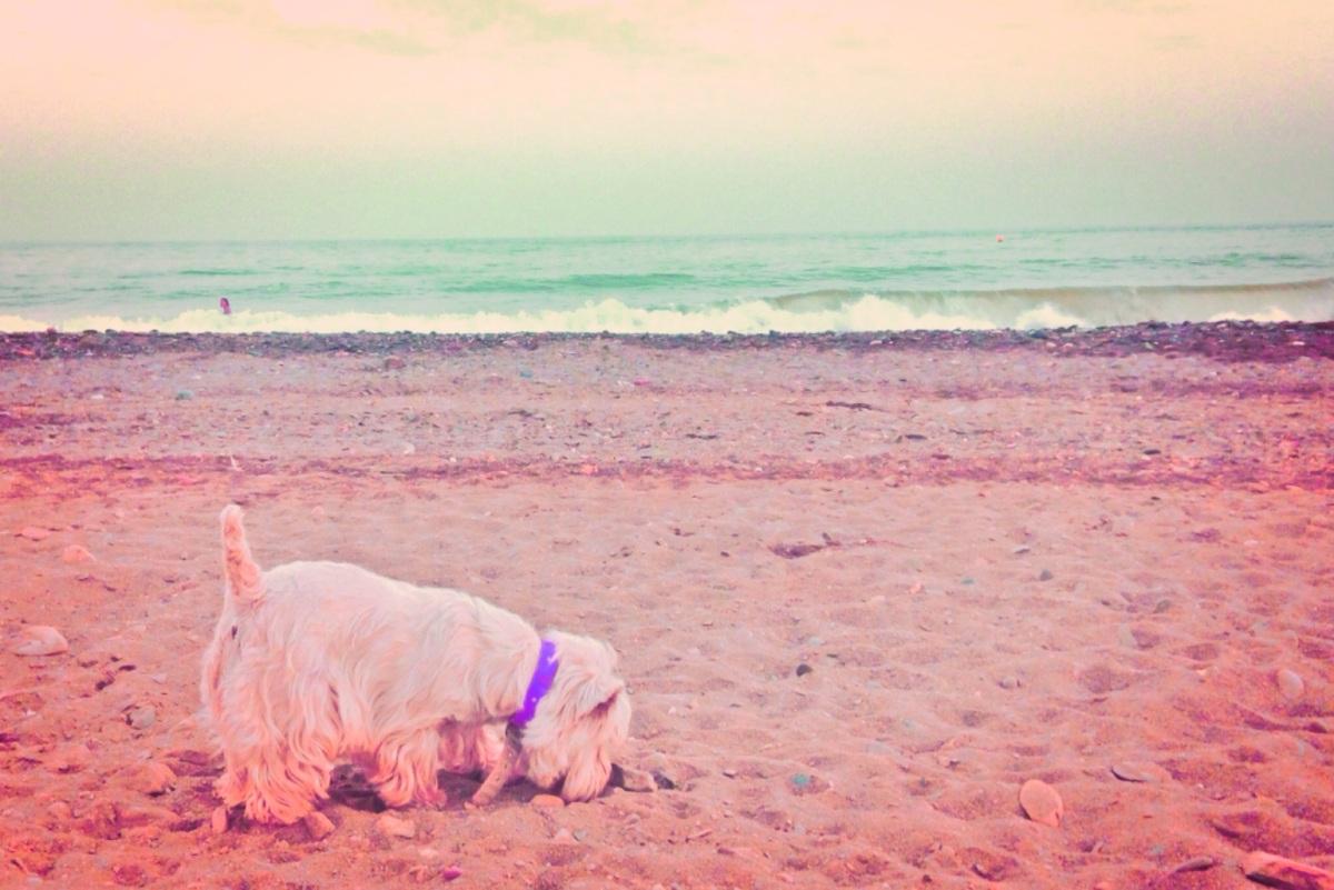 Westie en la playa para animales de compañía de La Cala Del Moral