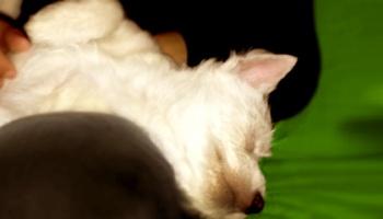 Primeros días: la siesta de un westie cachorro | Cachorro westie